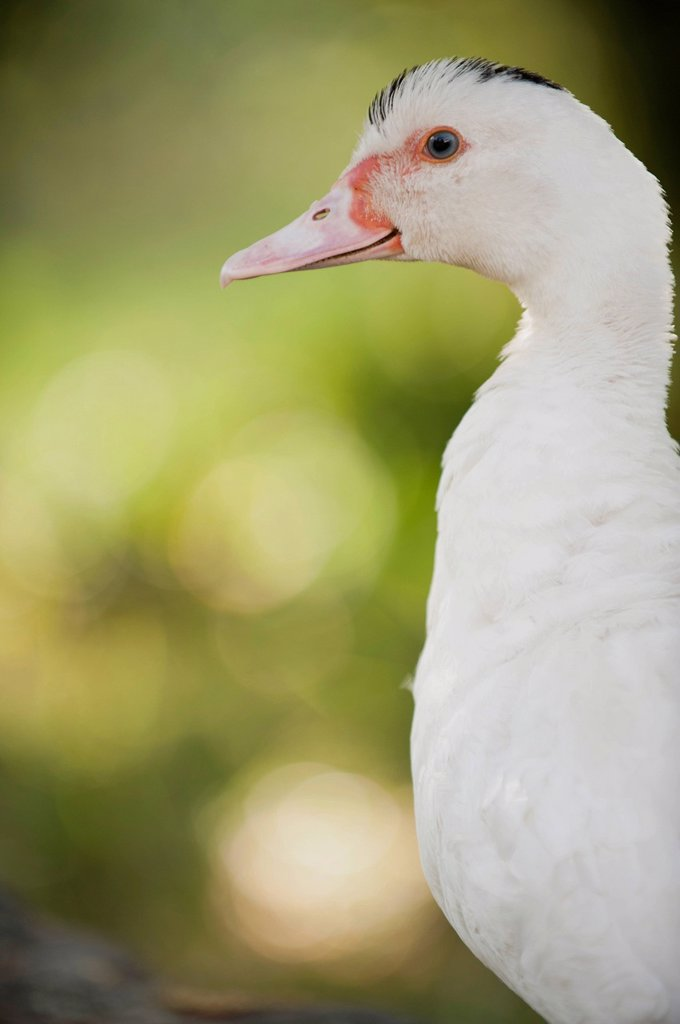 Stock Photo: 1747R-17410 Duck, portrait