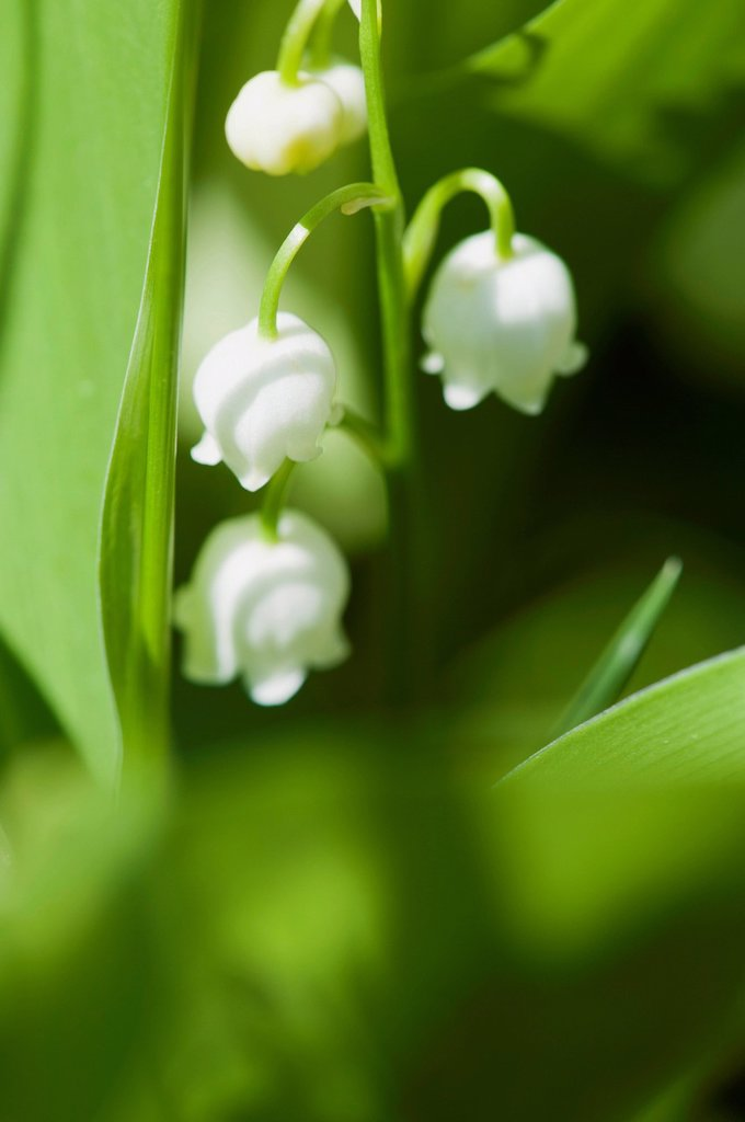 Stock Photo: 1747R-17418 Lily of the valley flowers