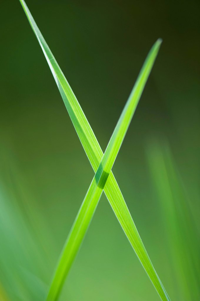 Stock Photo: 1747R-17455 Blades of grass crossed in x shape