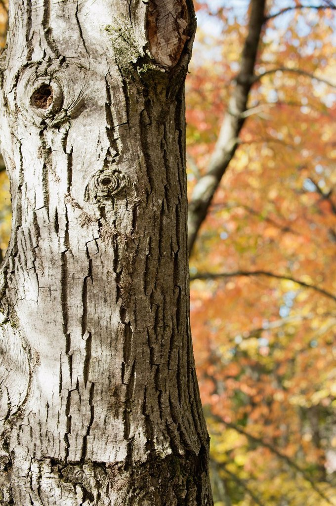 Stock Photo: 1747R-17476 Tree trunk, close_up