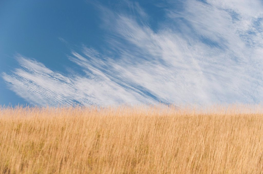 Wispy cirrus clouds over wheatfield : Stock Photo