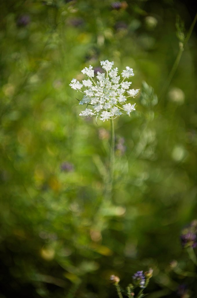 Stock Photo: 1747R-17504 Queen Anne´s Lace flower