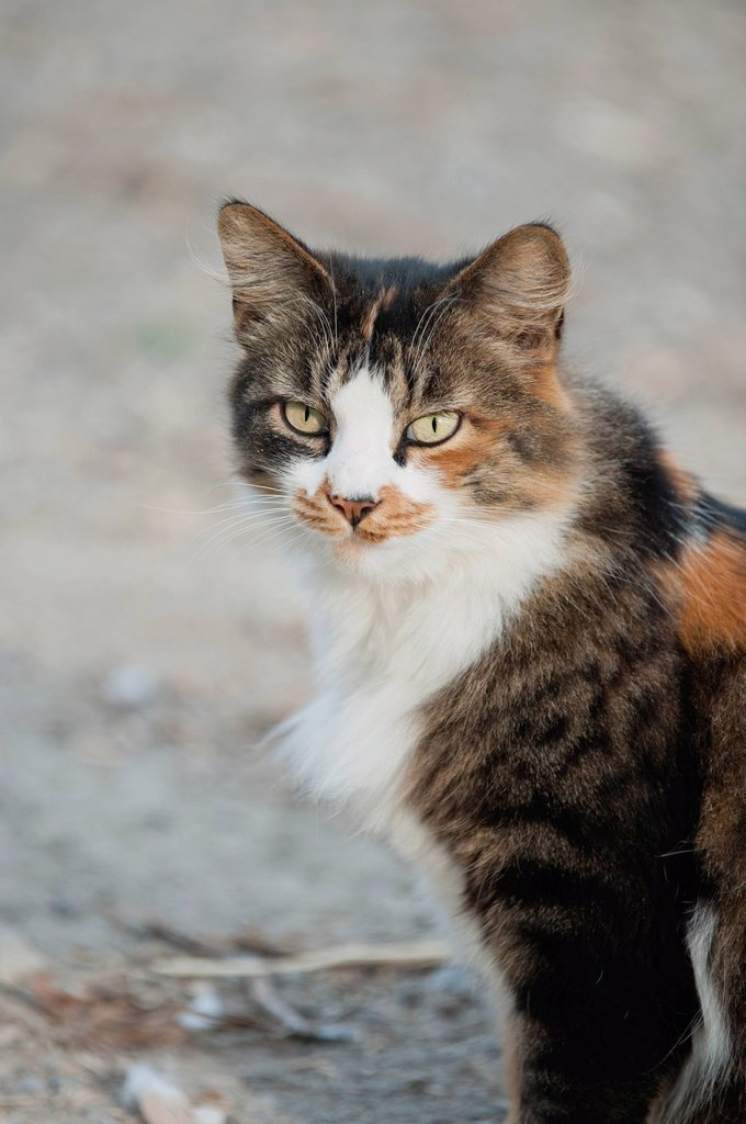 Stock Photo: 1747R-17519 Cat sitting outdoors