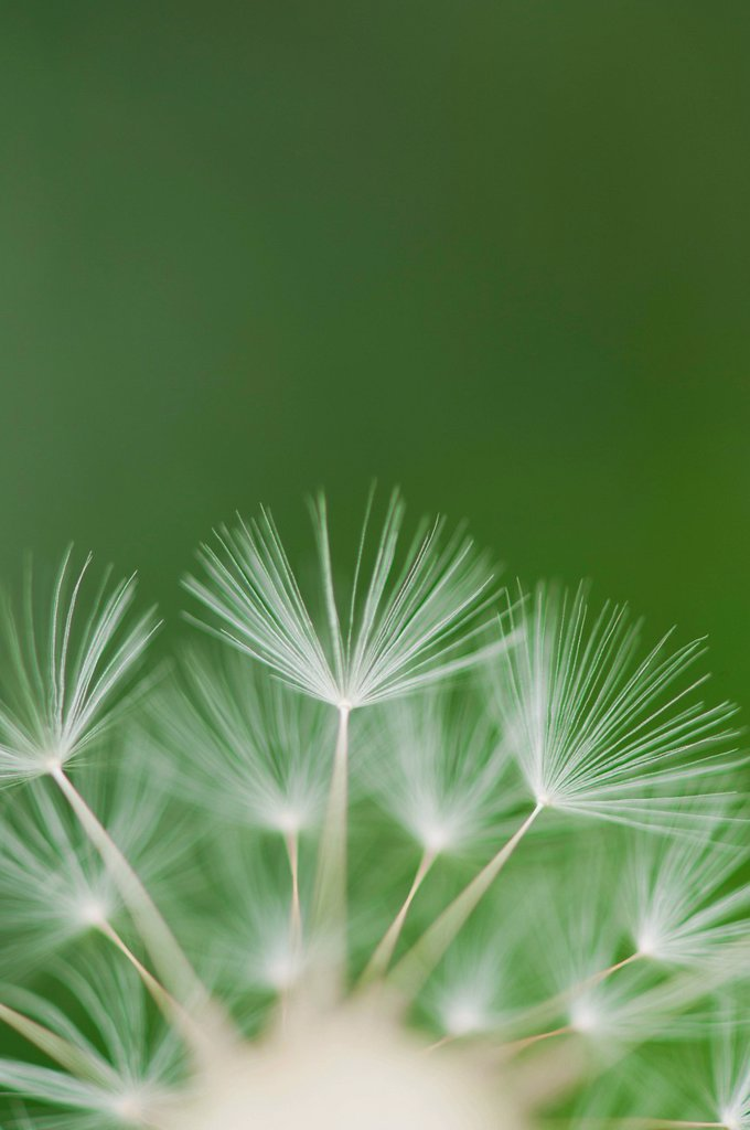 Stock Photo: 1747R-17533 Dandelion seedhead, close_up
