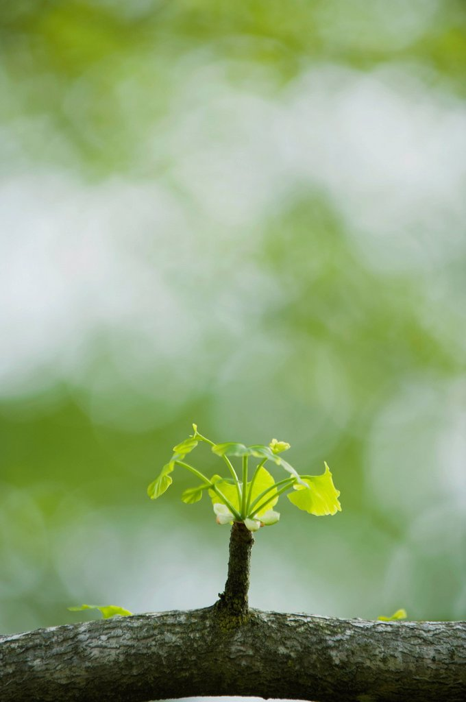 Stock Photo: 1747R-17570 Ginkgo leaves sprouting on branch