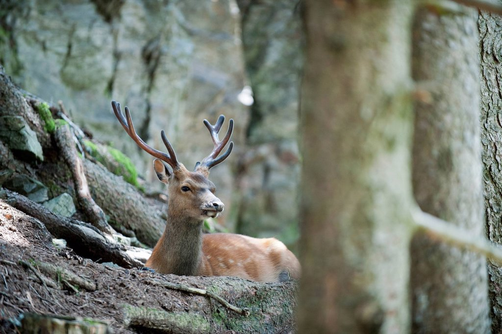 Stock Photo: 1747R-17580 Buck in woods