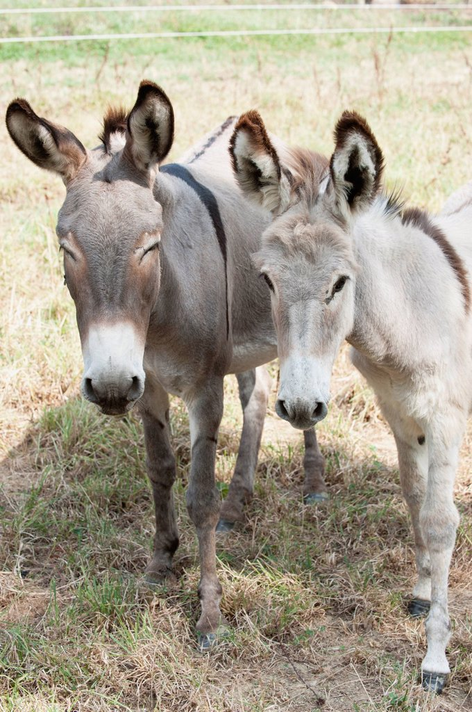 Donkeys standing side by side : Stock Photo