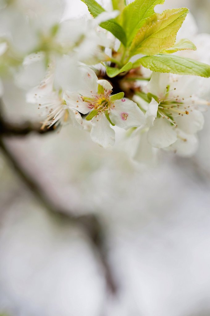Stock Photo: 1747R-17603 Cherry blossoms