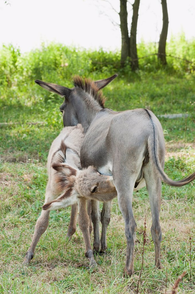 Donkey foal suckling : Stock Photo