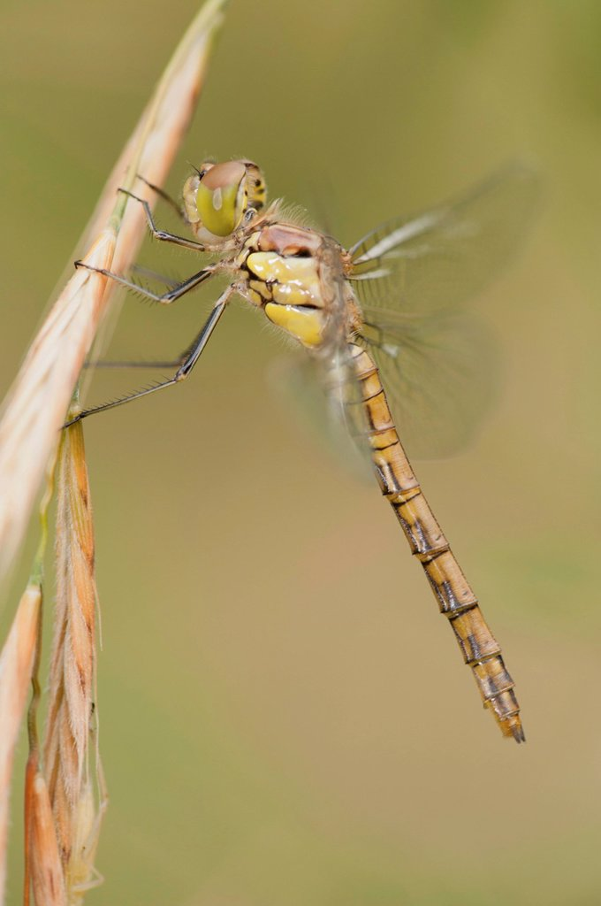 Stock Photo: 1747R-17661 Dragonfly perching on plant