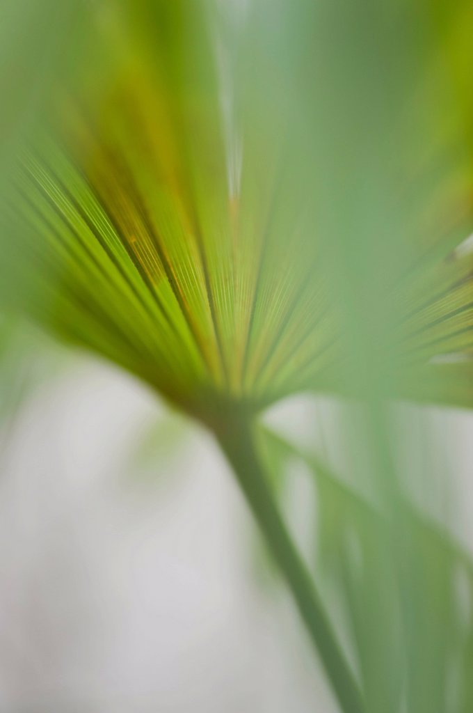 Stock Photo: 1747R-17672 Papyrus frond, close_up