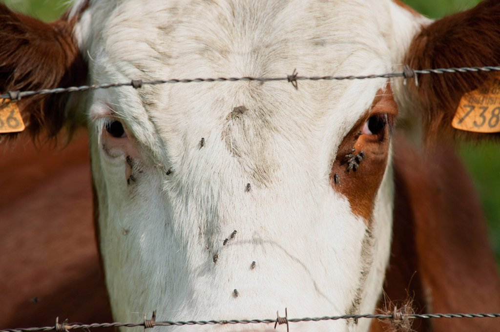 Stock Photo: 1747R-17675 Cow behind barbed wire, close_up