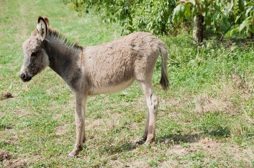 Stock Photo: 1747R-17715 Donkey foal