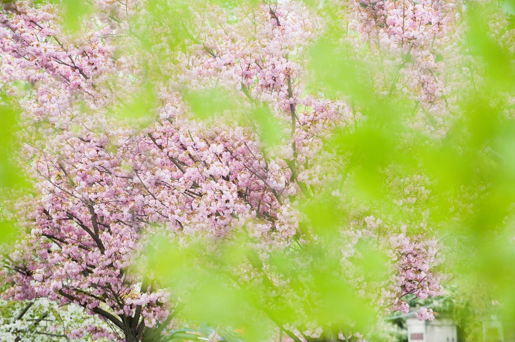 Cherry tree in full bloom, viewed through foliage : Stock Photo