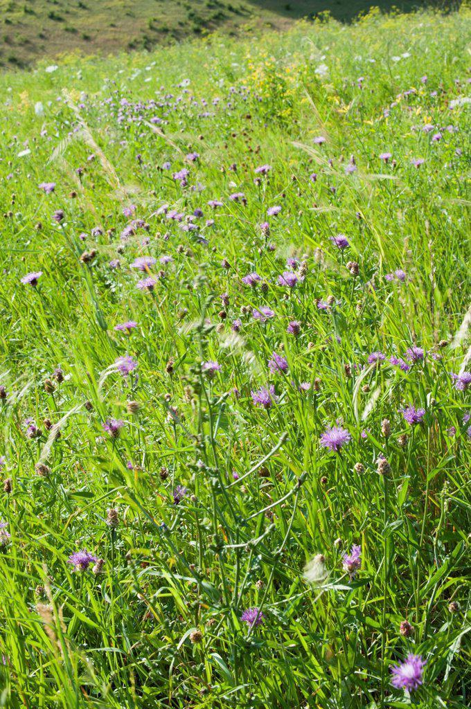 Cornflowers rowing in field : Stock Photo