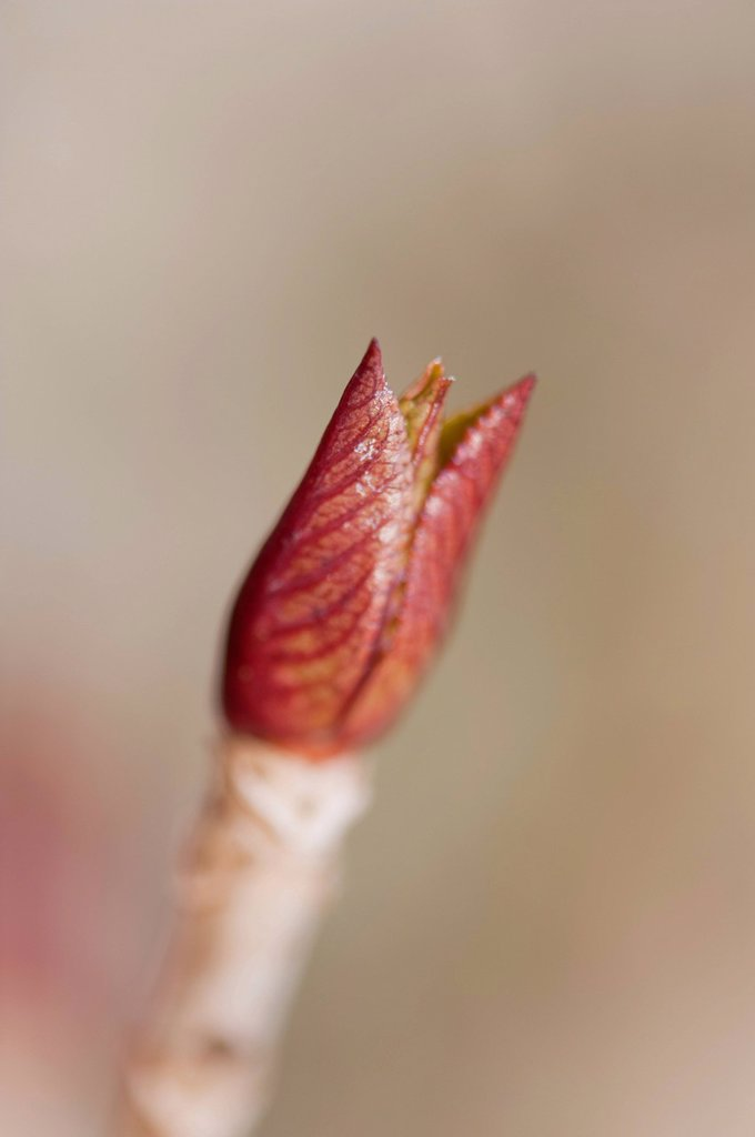 Stock Photo: 1747R-17781 New leaves budding on hydrangea branch