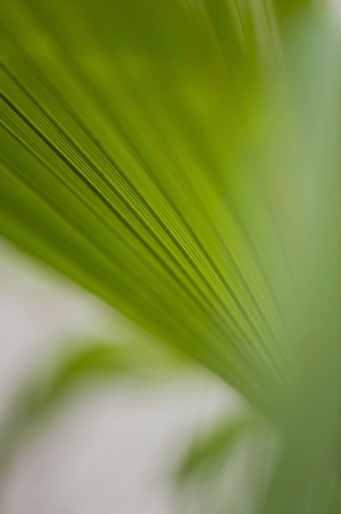 Stock Photo: 1747R-17786 Papyrus frond, close_up