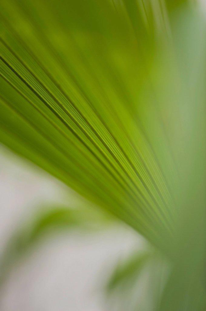 Papyrus frond, close_up : Stock Photo