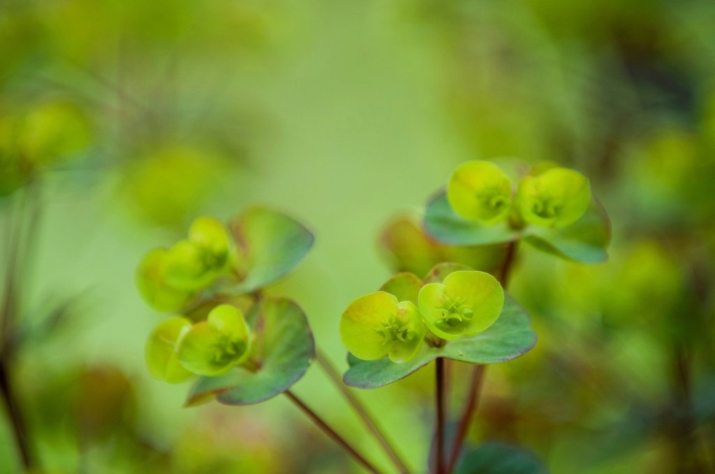 Stock Photo: 1747R-17787 Euphorbia, close_up