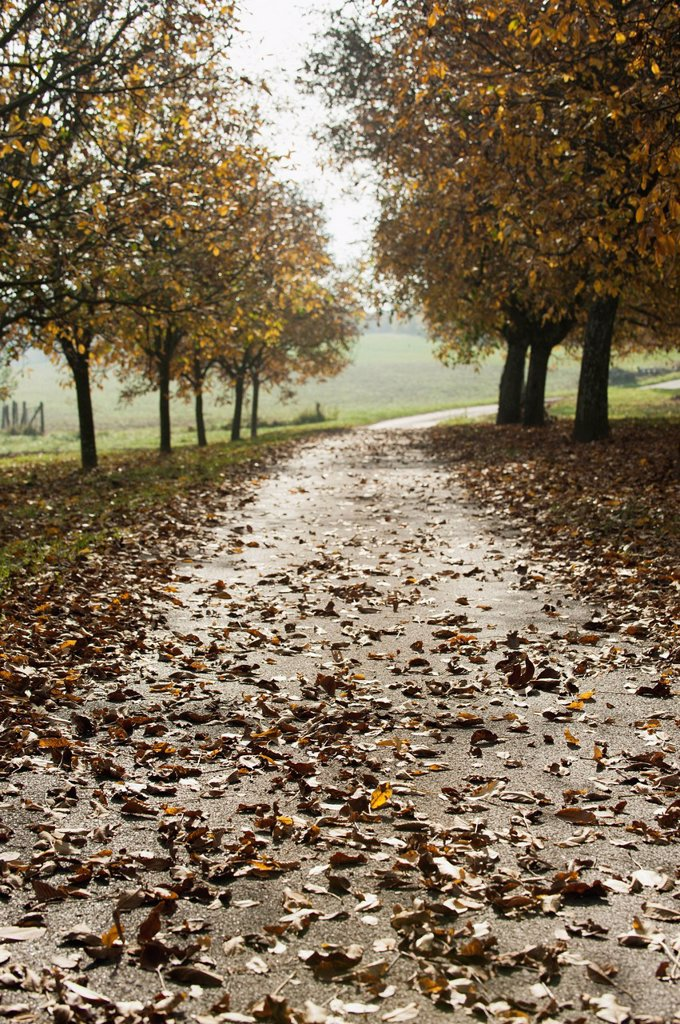 Stock Photo: 1747R-17804 Path through walnut grove
