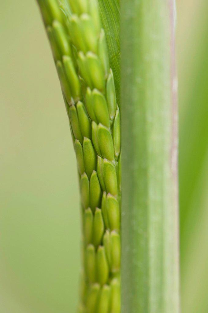 Stock Photo: 1747R-17874 Close_up of green barley