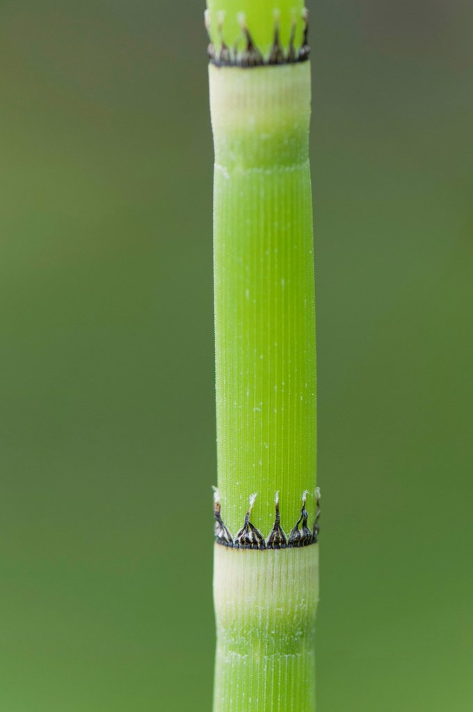 Stock Photo: 1747R-17902 Horsetail rush