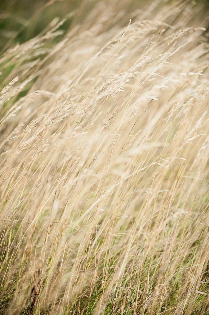 Stock Photo: 1747R-17904 Tall grass, full frame