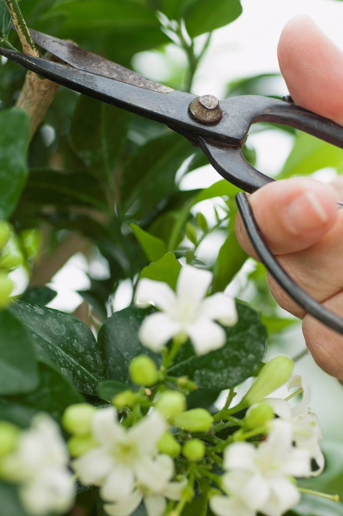 Stock Photo: 1747R-18015 Woman pruning flowering shrub with pruning shears, cropped