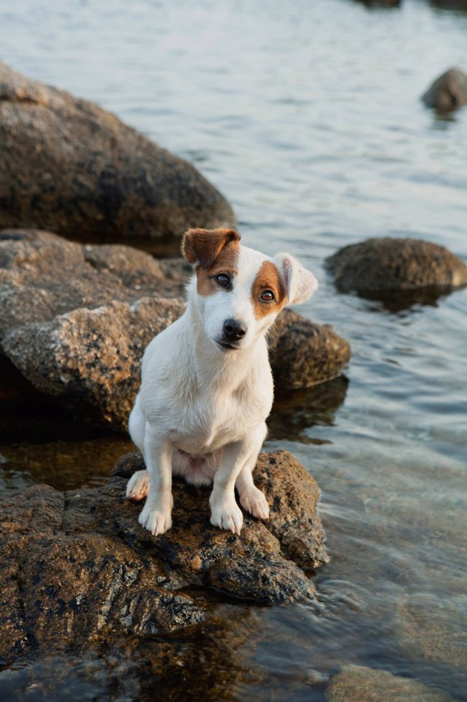 Stock Photo: 1747R-18154 Jack Russell terrier sitting on rock by sea