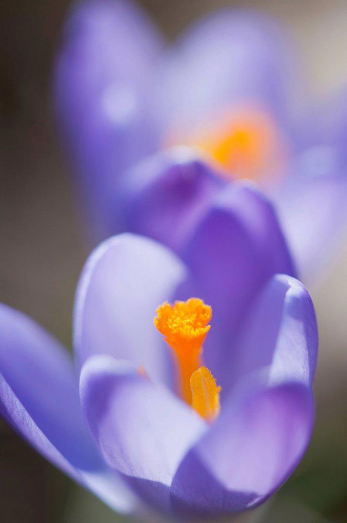 Purple crocus, close_up : Stock Photo