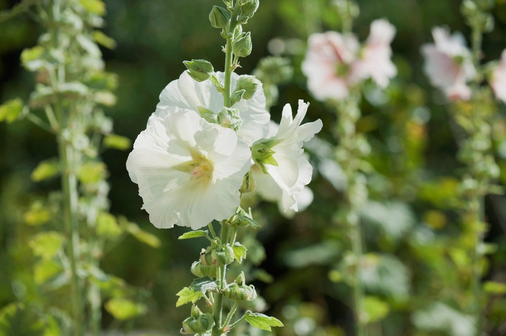 Stock Photo: 1747R-18281 White hollyhocks