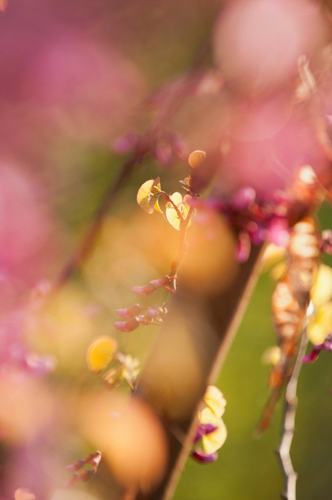 Stock Photo: 1747R-18310 Redbud tree branches, close_up