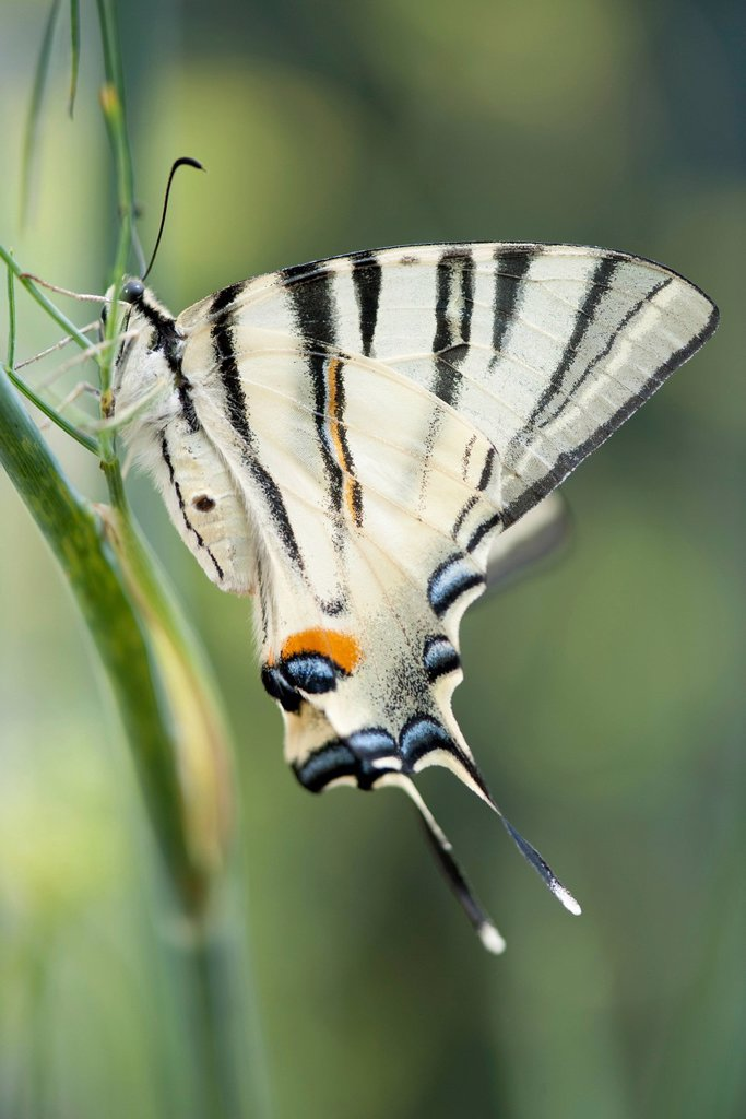 Stock Photo: 1747R-18383 Zebra swallowtail butterfly