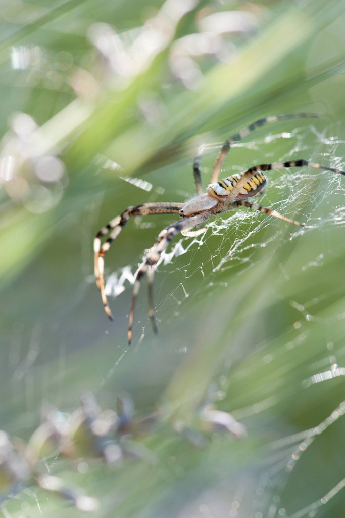Stock Photo: 1747R-18389 Wasp spider Argiope bruennichi