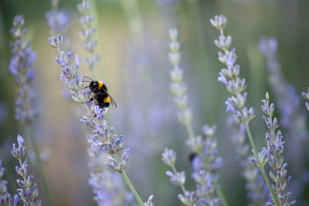 Bee pollinating lavender flowers : Stock Photo
