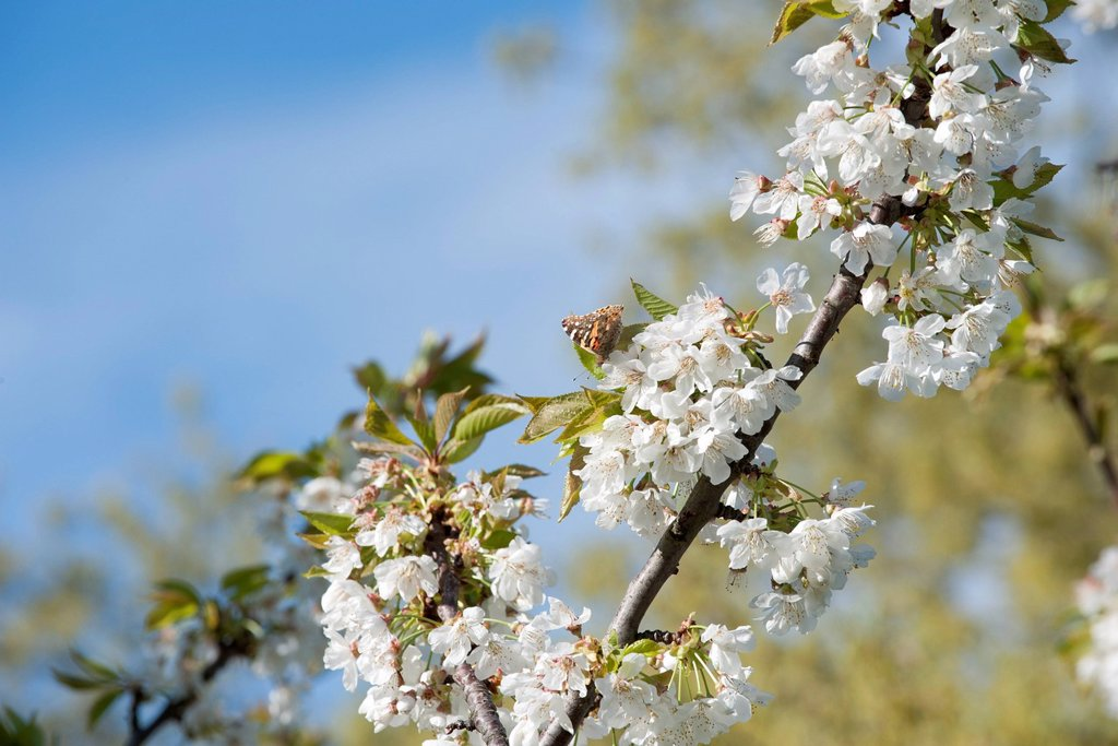 Stock Photo: 1747R-18425 Butterfly on cherry blossom