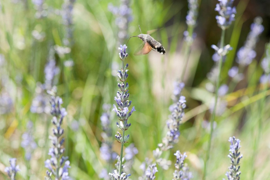 Stock Photo: 1747R-18432 Sphingidae flying among flowers