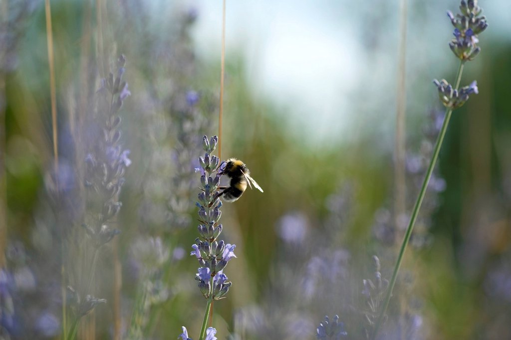 Bumblebee perching on lavender flowers : Stock Photo