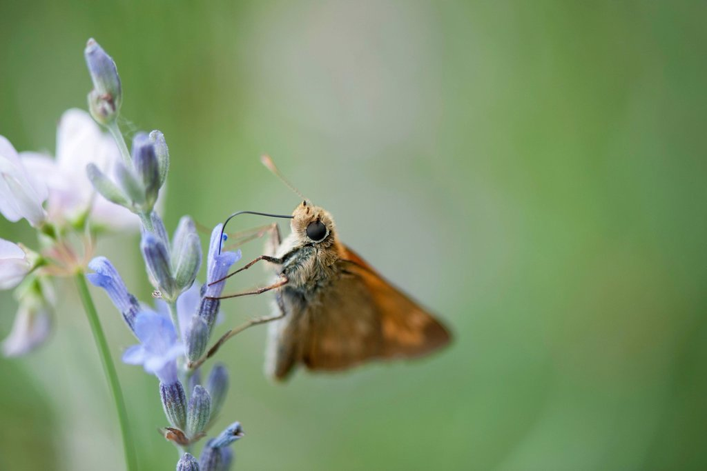 Skipper butterfly on lavender flowers : Stock Photo