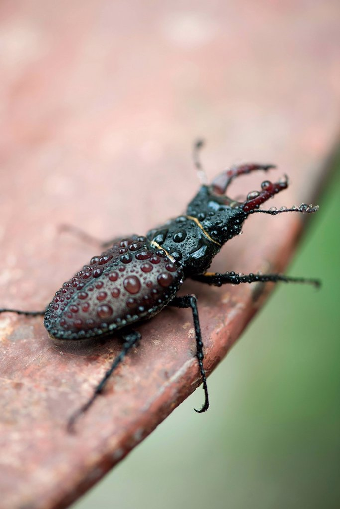 Stag beetle : Stock Photo