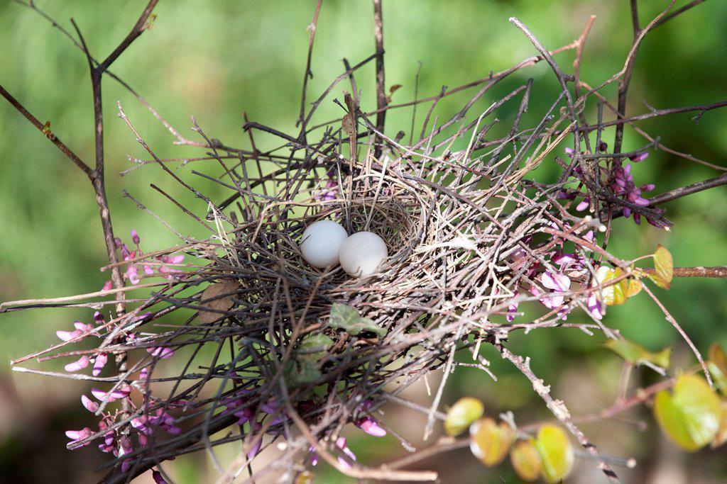 Stock Photo: 1747R-18465 Eggs in bird nest