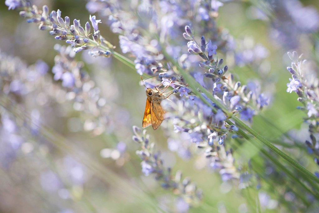 Stock Photo: 1747R-18485 Skipper butterfly on lavender flowers