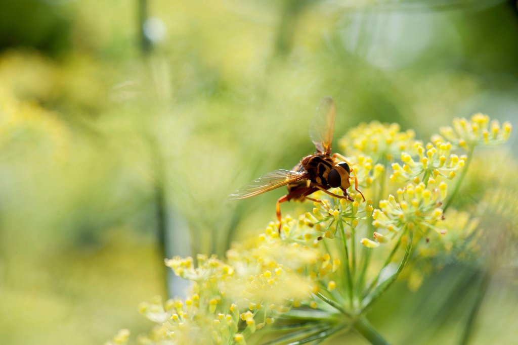 Stock Photo: 1747R-18487 Wasp pollinating fennel flowers