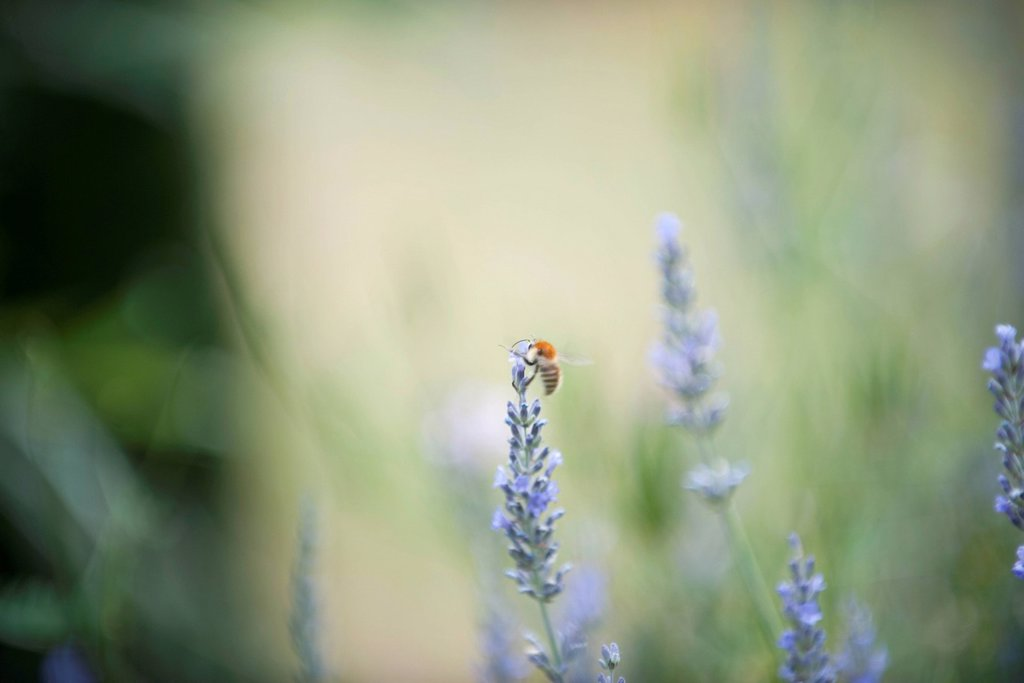 Stock Photo: 1747R-18495 Bee perching on lavender flowers
