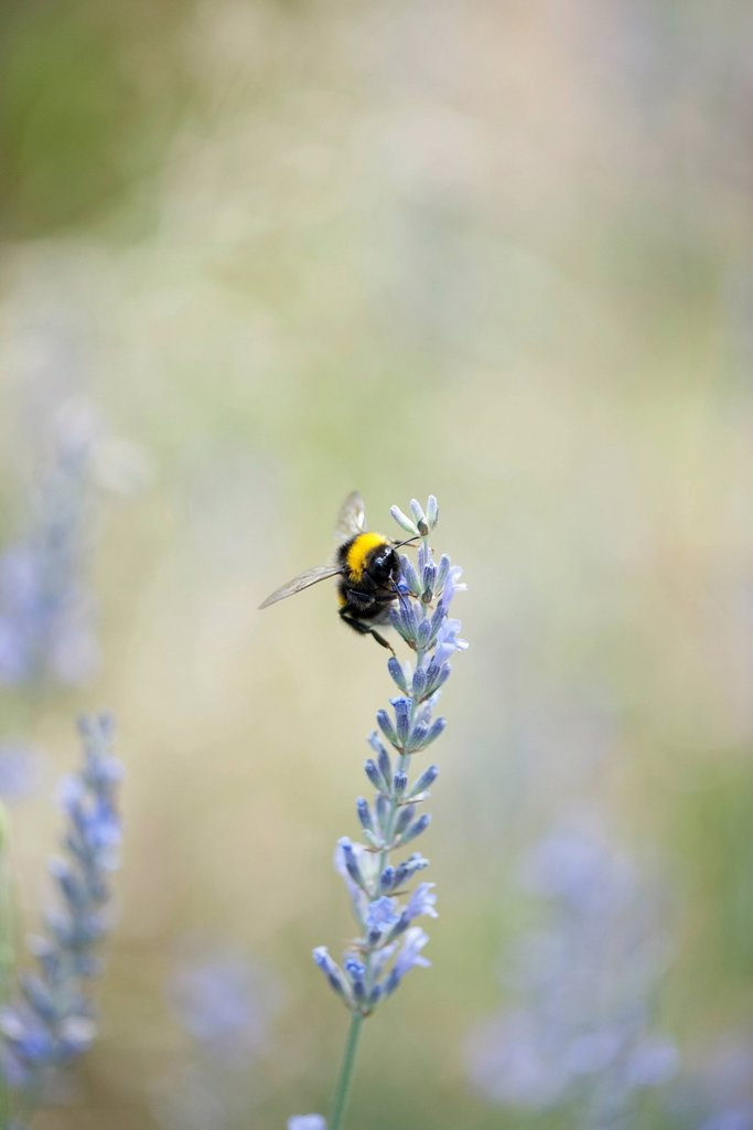 Stock Photo: 1747R-18496 Bumblebee on lavender flowers
