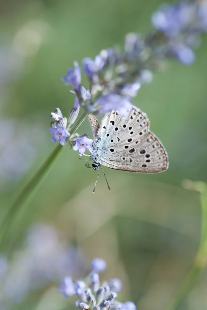 Stock Photo: 1747R-18498 Lycaenidae butterfly on lavender flowers