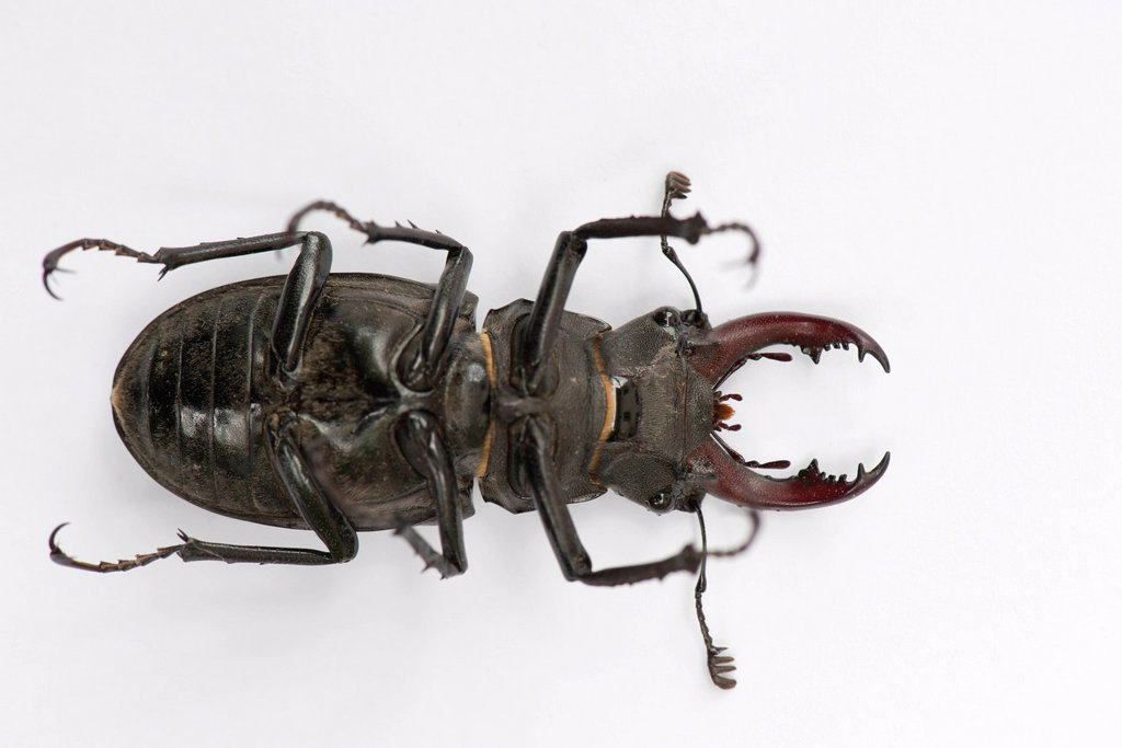 Stock Photo: 1747R-18504 Underside of stag beetle