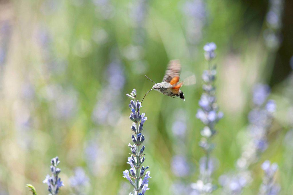 Stock Photo: 1747R-18507 Sphingidae flying among flowers