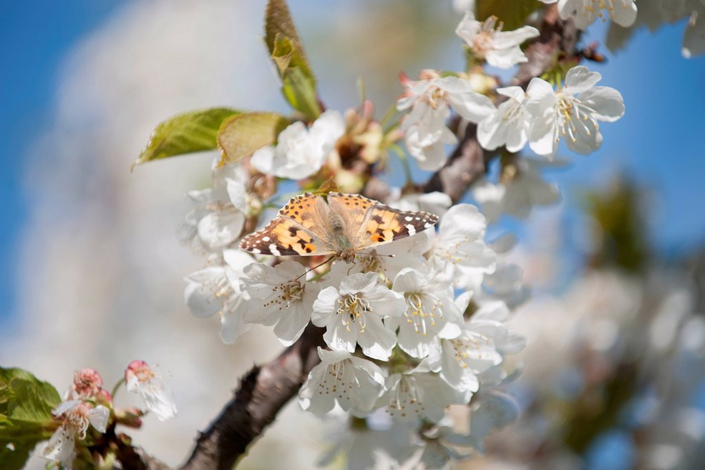 Stock Photo: 1747R-18531 Butterfly on cherry blossom
