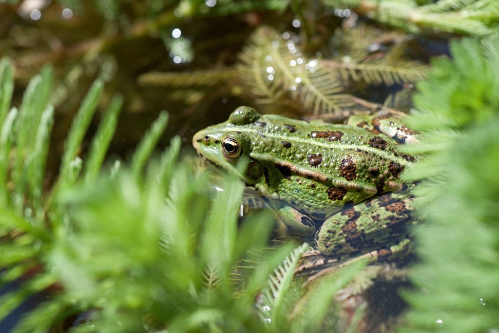 Green frog in pond : Stock Photo